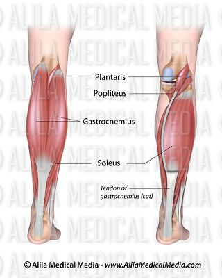 Alila medical media chiropractic images videos lower leg muscles posterior ccuart Choice Image