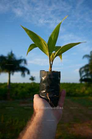 Seed of Palm Heart Pupunha supported not Farmer's hand