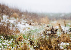 Short-eared Owl Asio flammeus hunting in the snow Norfolk winter