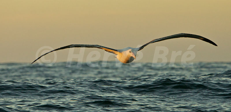 Royal Albatros in New-Zealand