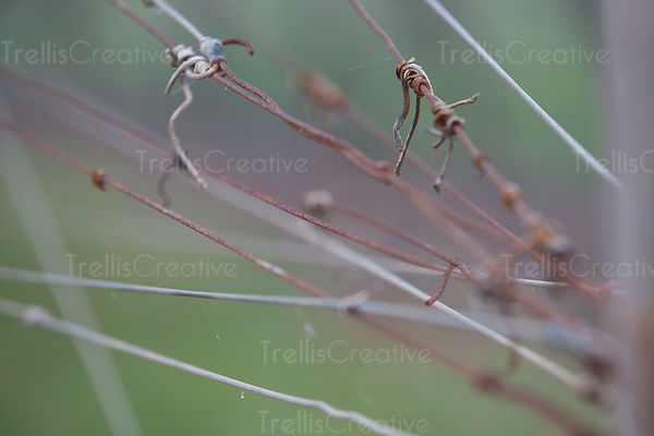 Close-up of grapevine trellis wire