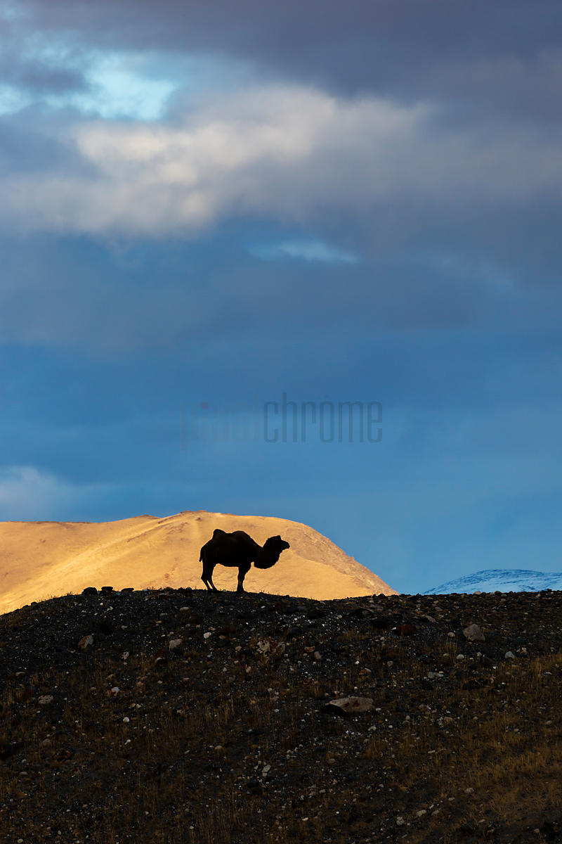 Silhouette of a Bactrian Camel in Rugged Altai Scenery