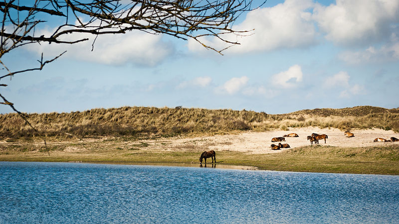 Konik horse drinks water at a dune lake
