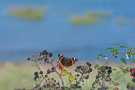 Red Admiral Vanessa atalanta on blackberries in autumn Norfolk