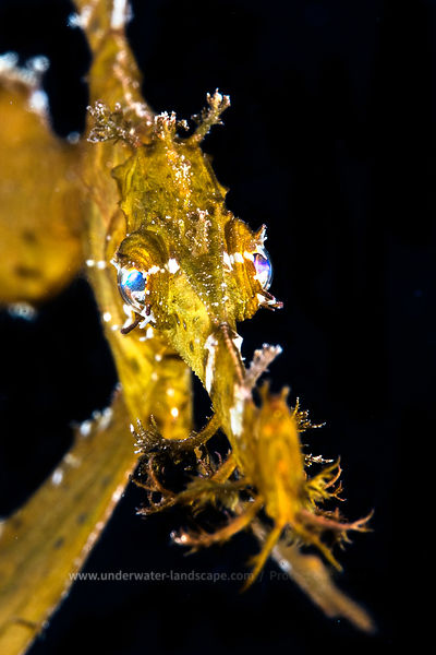 Delicate ghost pipefish - Underwater picture