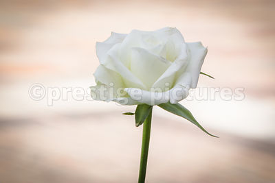 Single White Rose for the re-burial of Richard III