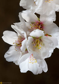 Close Up of Almond Blossoms #1