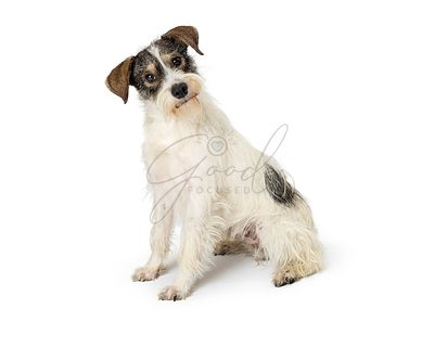 Jack Russell Terrier Crossbreed Dog Sitting Tilting Head
