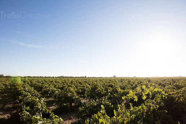 Green vineyard landscape against an open blue sky