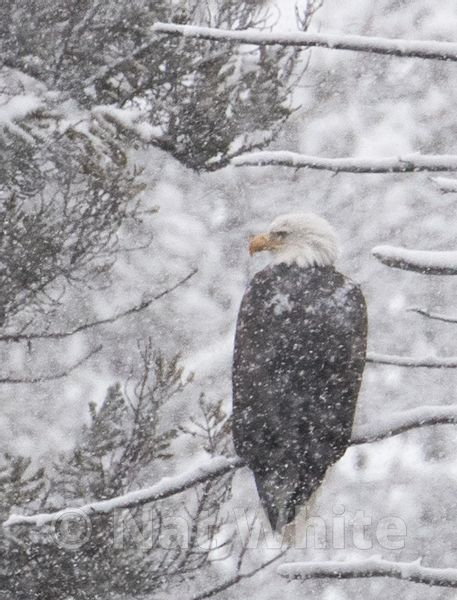 Bald_eagle_in_snow-0655_January_19_2018_Nat_White