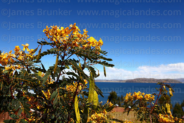 Senna birostris shrub near Lake Titicaca, Peru