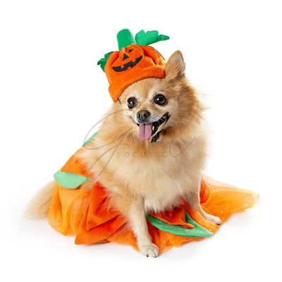 Pomeranian Dog Dressed as Halloween Pumpkin
