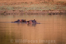 Hippopotamus (Hippopotamus amphibius) at Chine Pool, Mana Pools National Park, Zimbabwe; Landscape
