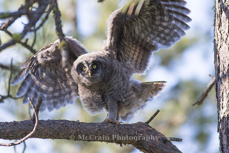 This youngster is exercising its wings. They were able to fly short distances but not yet hunt for themselves.