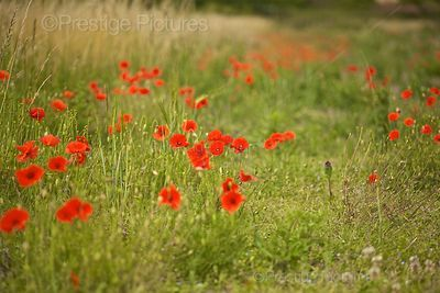 Red Poppies in a Field in Scotland.