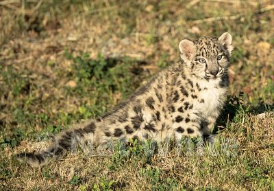 Snow_Leopard_Cub-Triple_D_wildlife-22017-1329-July_31_2017