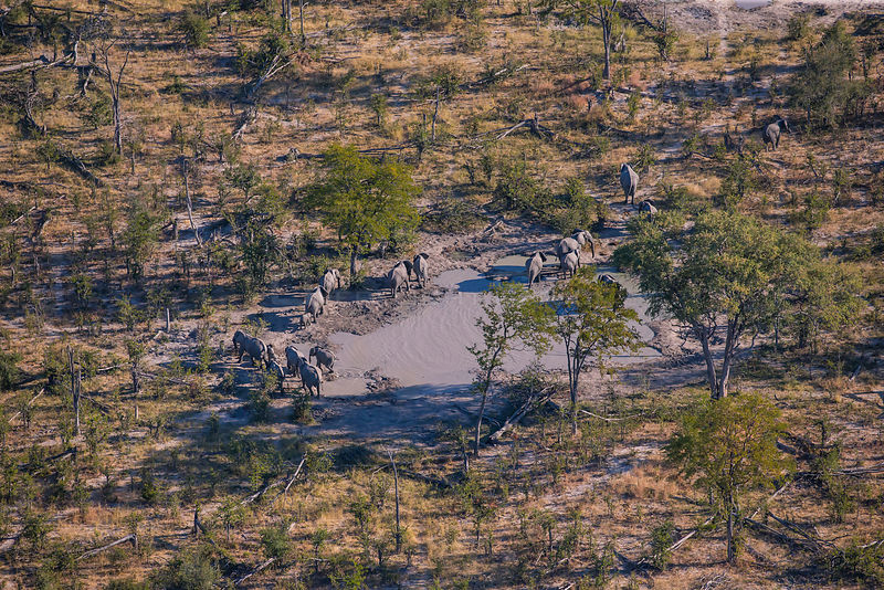 African Elephant ( Loxodonta africana) in the Okavango Delta from helicopter, Botswana, June 2016. June