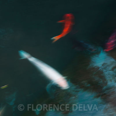 "New in ""The glide of a koi fish"""" photos"
