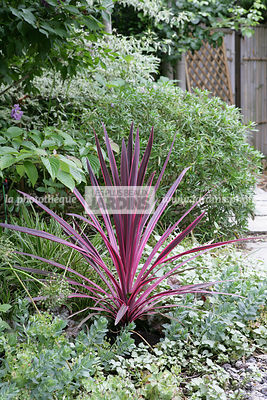 Cordyline 'Pink Passion'. Jardin MAP