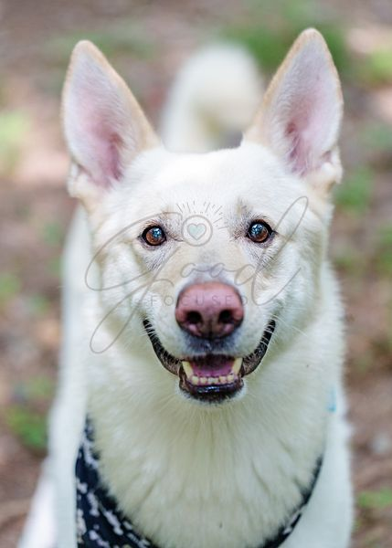 White Shepherd Dog Outdoors Closeup Happy Expression