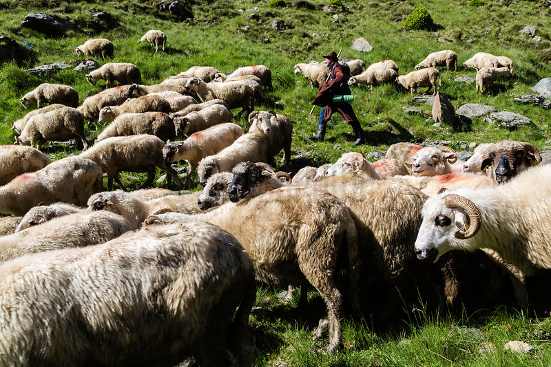 Shepherd Herding his Flock along the Transfagarasan Highway