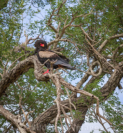 Bateleur (Terathopius ecaudatus) in a tree alongside the S21, Kruger National Park,  South Africa; Landscape
