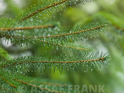 Pine tree branches, close-up