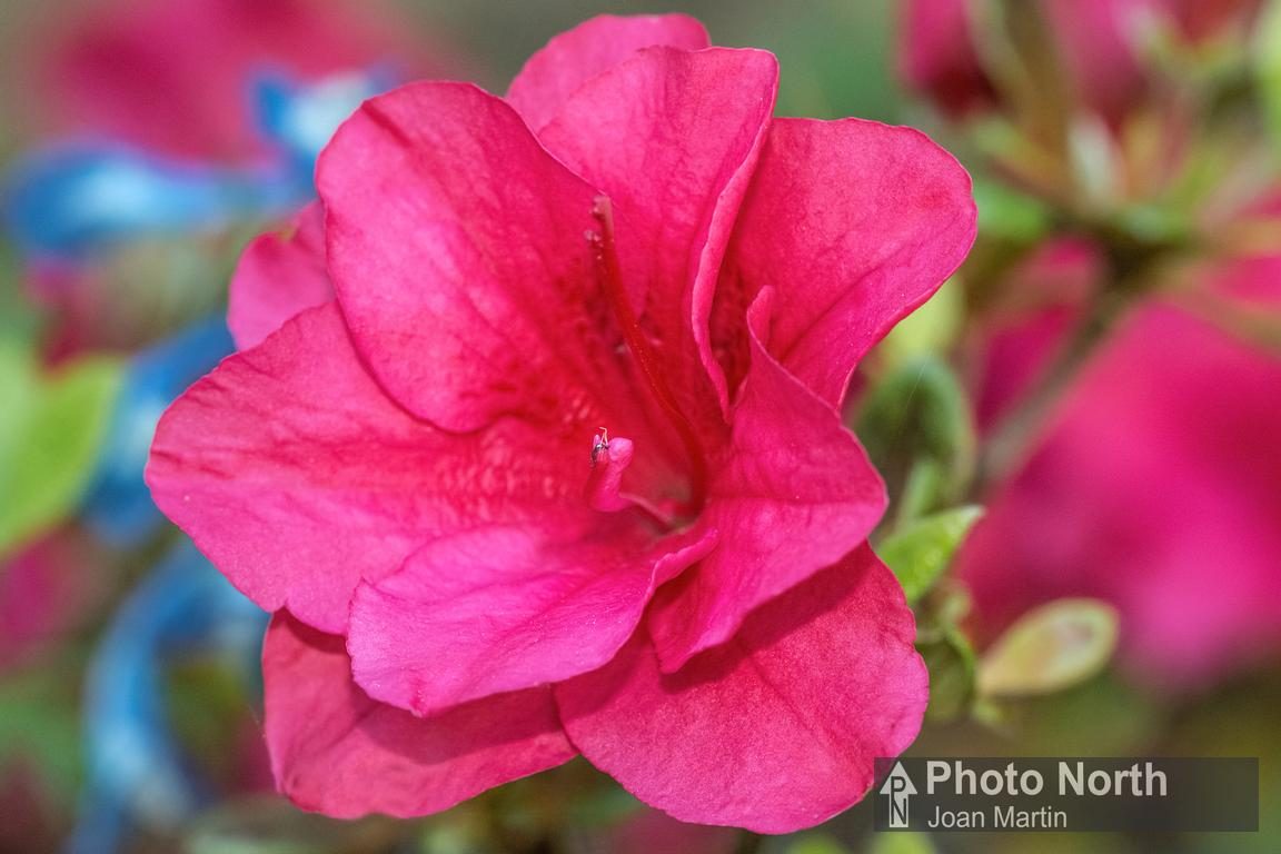 Photograph Azalea 02a Pink Azalea Flower On Photo North
