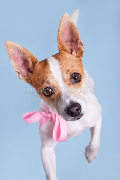 Close up of dog standing and looking up with pink bow