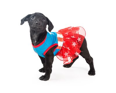 Puppy Wearing Super Hero Costume