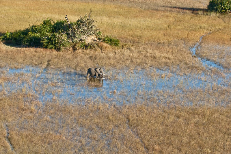 Aerial view of African elephant (Loxodonta africana)  wading through wetlands, Okavango delta, Okavango delta, Botswana, July