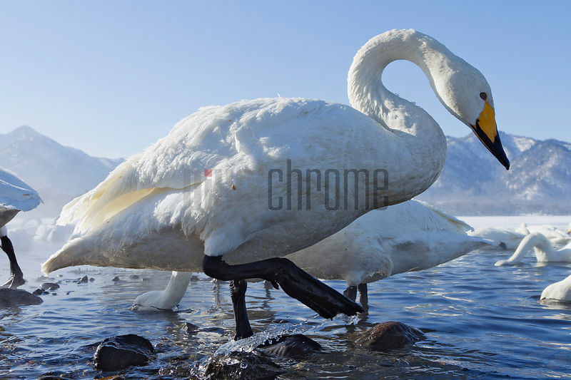 Whooper Swan on the Shore of Lake Kussharo