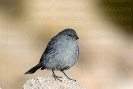 Adult male Plumbeous sierra finch (Phrygilus unicolor)