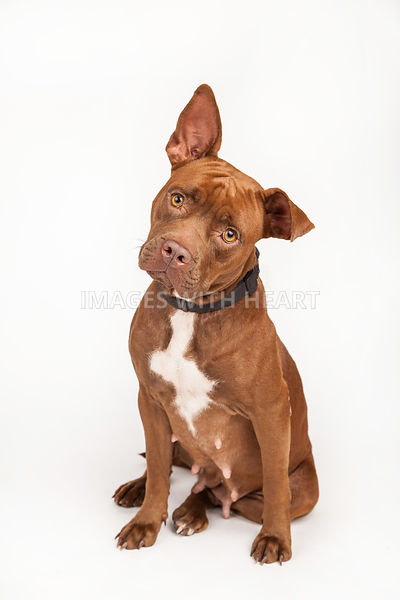 Dog full body sitiing on white background