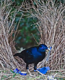 Satin Bowerbird Ptilonorhynchus violaceus male depositing blue pen at bower Lamington NP Queensland Australia September
