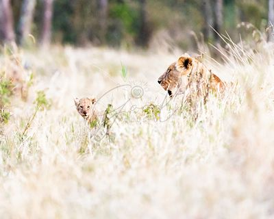 Lioness with Baby Cub in Grasslands