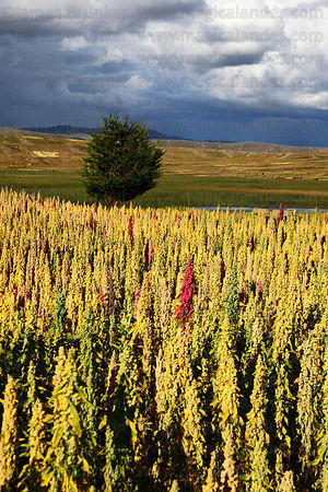 Field of quinoa plants ( Chenopodium quinoa ) in various stages of development growing on altiplano and stormy sky , Bolivia