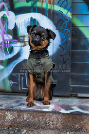 Punk brussels griffon puppy wearing shirt
