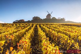 Windmill and vineyards, Verzenay, Champagne Ardenne, France