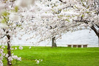 Cherry blossoms on the shore of Fort McHenry