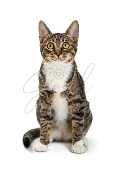Brown Tabby and White Cat Sitting Facing Forward