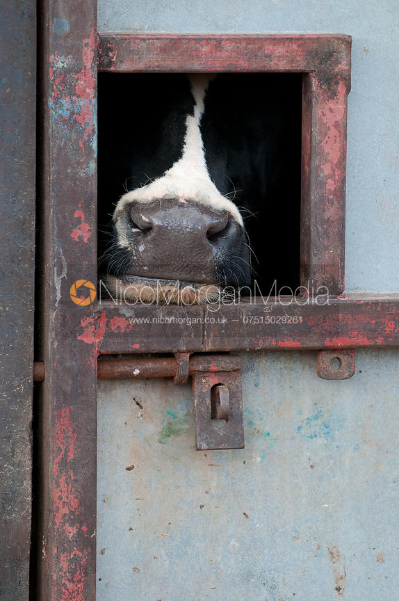 A Holstein cow pokes its nose through a hole