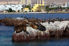 South American sea lions (Otaria flavescens) and red legged or Gaimards cormorants (Phalacrocorax gaimardi) , Iquique , Region I , Chile