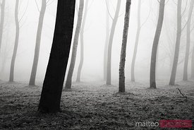 Trees dancing in the fog