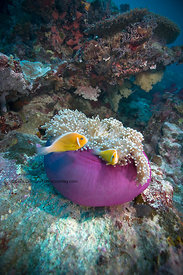 Anemone on ledge in Ulong Channel in strong current, Palau, Republic of Palau
