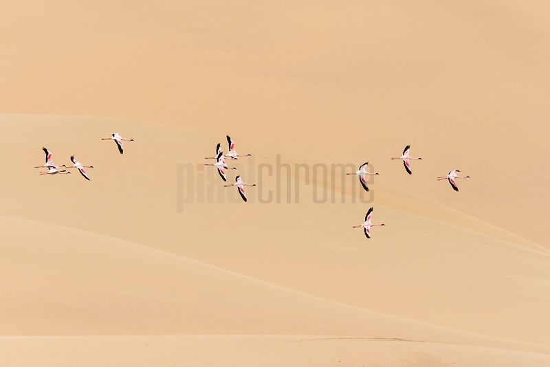 Greater Flamingos in Flight in Front of a Sand Dune