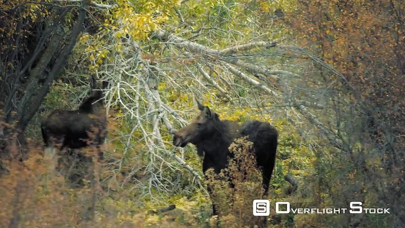 A pair of female moose eats twigs and branches near the Madison River in the Madison Valley, southwestern Montana