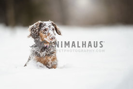 Daschund sitting in the snow