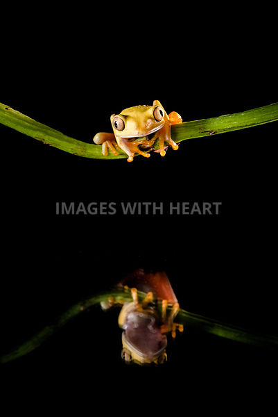 Red eyed tree frog on stick