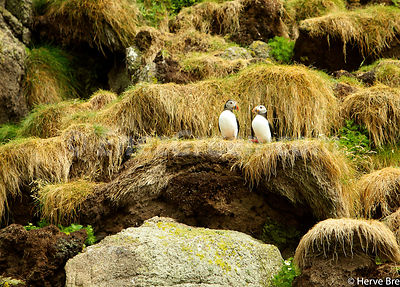 Puffin in an Outer Hébrides islet